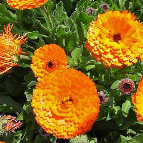 CALENDULA MAAYAN DARK ORANGE OR