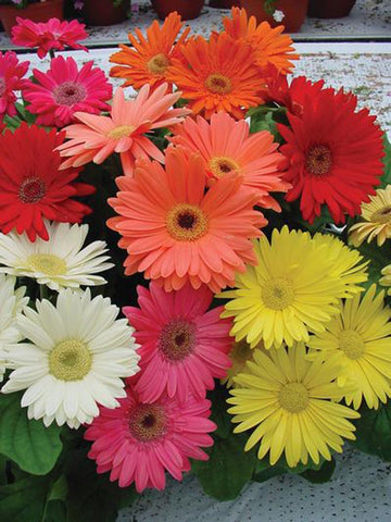 GERBERA MEGA REVOLUTION MIX CT