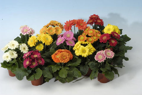 GERBERA MICRO REVOLUTION IRISH EYES MIX CT