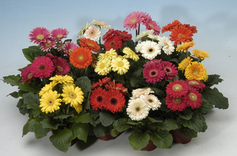 GERBERA MINI REVOLUTION MIX CT