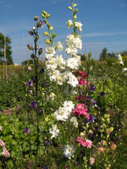 LARKSPUR GALILEE FROSTED SKY OR