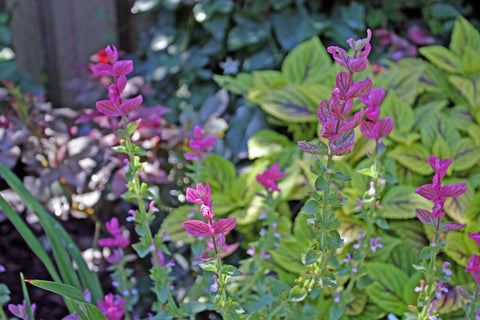 SALVIA MARBLE ARCH ROSE