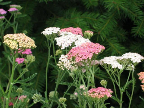 ACHILLEA COLORADO OR