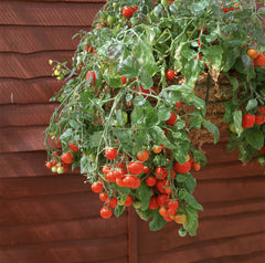 TOMATO CHERRY BASKET BOY RED GL