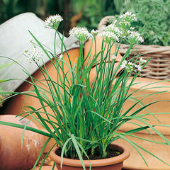 CHIVES GARLIC GIGANTIC GREEN