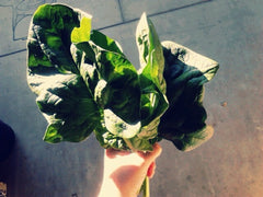 SPINACH GIANT NOBLE