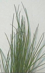 CHIVES THIN-LEAF GL