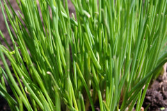 CHIVES FAT-LEAF