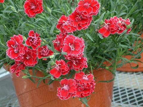 CARNATION LITTLE POT MIX GL