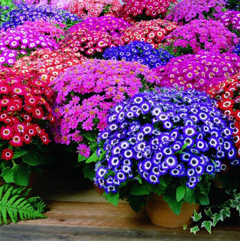 CINERARIA FLASHING LIGHTS GL