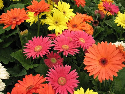 GERBERA SUPER SIZE MIX GL CT