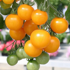 TOMATO CHERRY BASKET BOY YELLOW GL