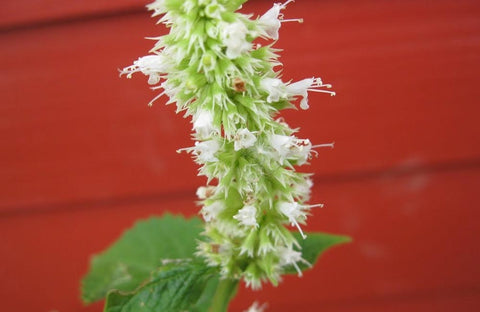 AGASTACHE HONEY
