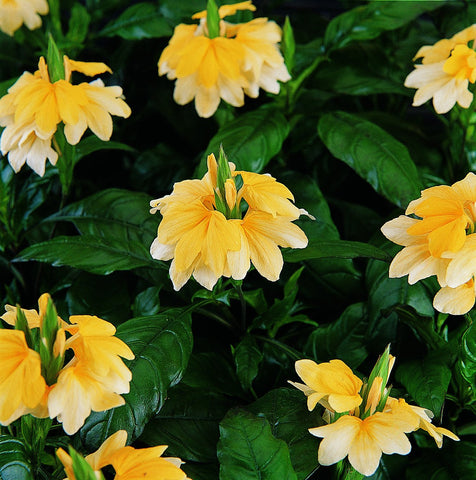 CROSSANDRA TROPIC YELLOW SPLASH