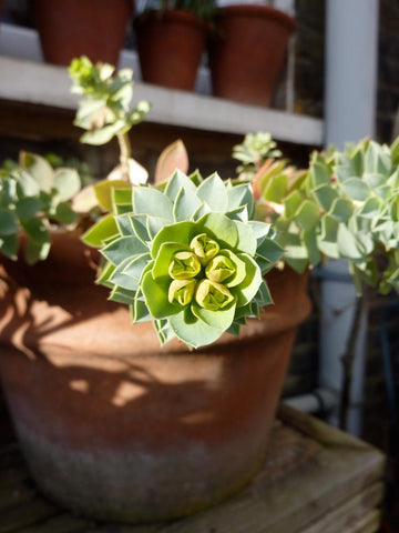 EUPHORBIA LEMON & LIME