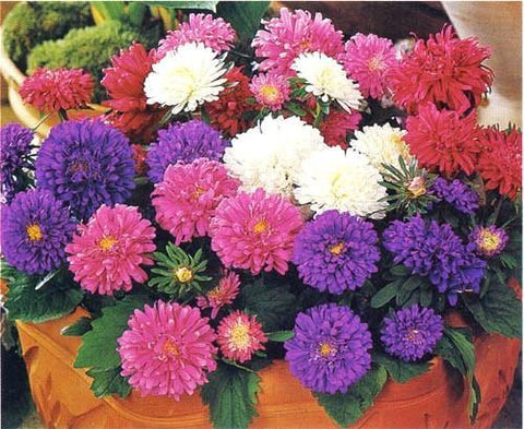 ASTER DOUBLE RAINBOW MIX