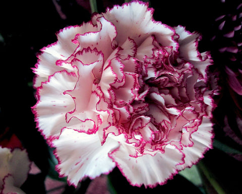 CARNATION RASPBERRY RIPPLE