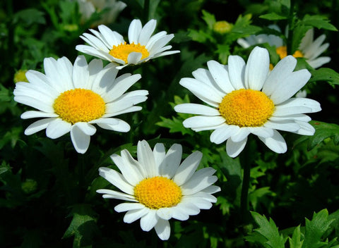CHRYSANTHEMUM WHITE BUTTONS