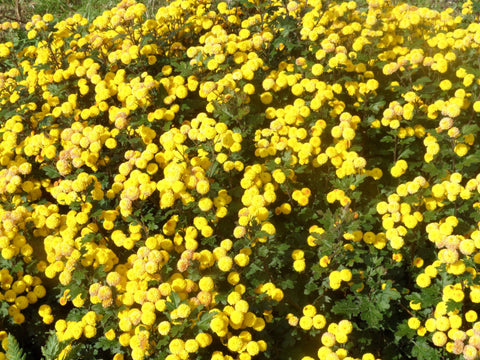 CHRYSANTHEMUM YELLOW BUTTONS