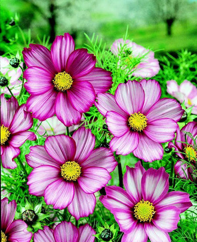 COSMOS CANDY STRIPE MIX