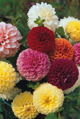 DAHLIA DBL GIANTS MIX