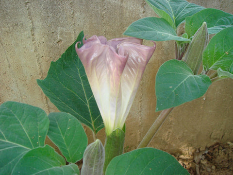 DATURA EVENING FRAGRANCE