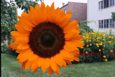 HELIANTHUS PREMIUM ORANGE GL