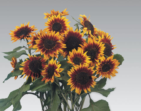 HELIANTHUS RING OF FIRE