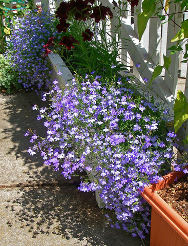 LOBELIA FOUNTAIN BLUE
