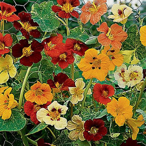NASTURTIUM JEWEL OF AFRICA MIX