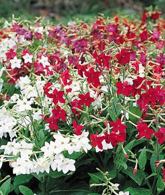 NICOTIANA HEAVEN SCENT MIX