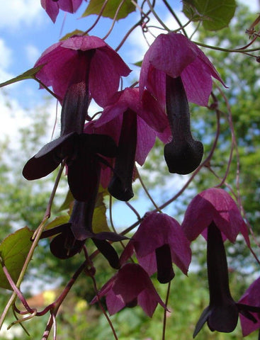 RHODOCHITON PURPLE BELLS