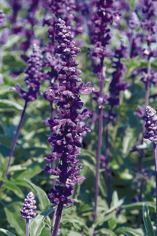 SALVIA EVOLUTION VIOLET