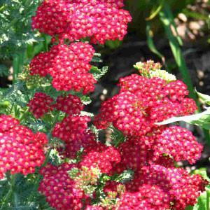 ACHILLEA RED SHADES