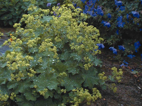ALCHEMILLA IRISH SILK