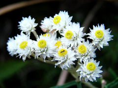 ANAPHALIS PEARLY EVERLASTING