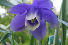 AQUILEGIA BLUE ANGEL