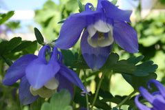 AQUILEGIA MINI-STAR