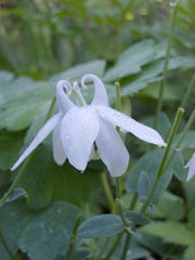 AQUILEGIA WHITE ANGEL