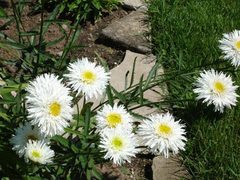 CHRYSANTHEMUM CRAZY DAISY
