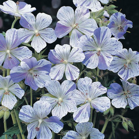 GERANIUM SPLISH SPLASH