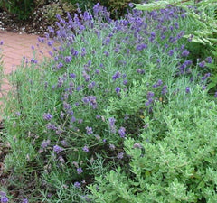 LAVANDULA EARLY BLUE SCENT