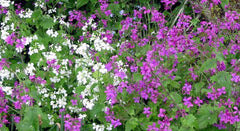 LUNARIA HONESTY