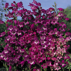 PENSTEMON MINIATRUE BELLS