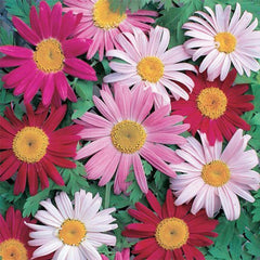 PYRETHRUM GARDEN LEADER