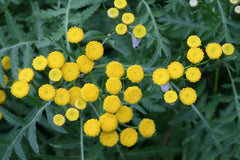 TANACETUM FERN LEAVED TANSY