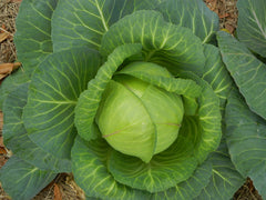 CABBAGE EARLY FLAT DUTCH