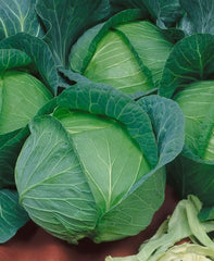 CABBAGE LATE FLAT DUTCH