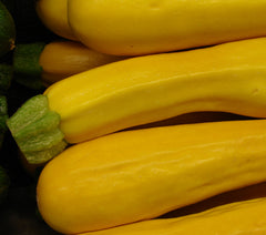 SQUASH SUMMER GOLD RUSH