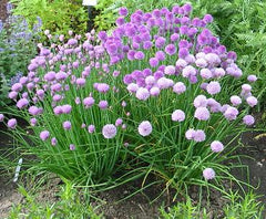 CHIVES MEDIUM-LEAF